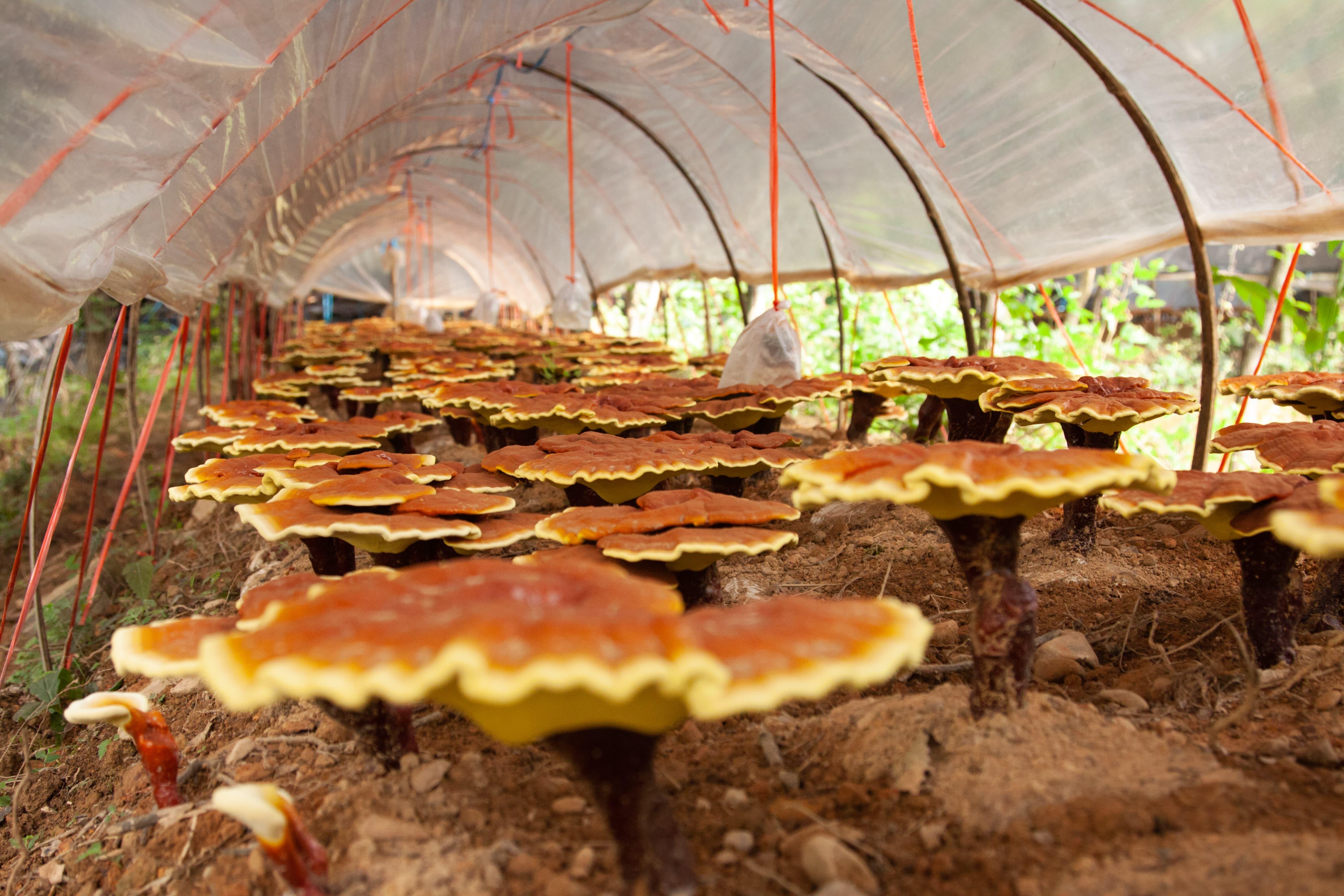 Bei Hawlik wächst jeder Pilz auf einem seinen Bedürfnissen angepassten Substrat